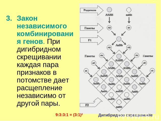 * Закон независимого комбинирования генов. При дигибридном скрещивании каждая пара признаков в потомстве дает расщепление независимо от другой пары. Дигибридное скрещивание 9:3:3:1 = (3:1)2
