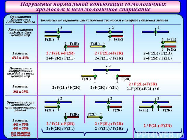 Нарушение нормальной коньюгации гомологичных хромосом и негомологичное спаривание Ориентация хромосом в I делении мейоза Коориентация каждых двух центромер Гаметы: 4/12 = 33% Независимая коориентация каждой из трех центромер Гаметы: 2/8 = 25% Ориент…
