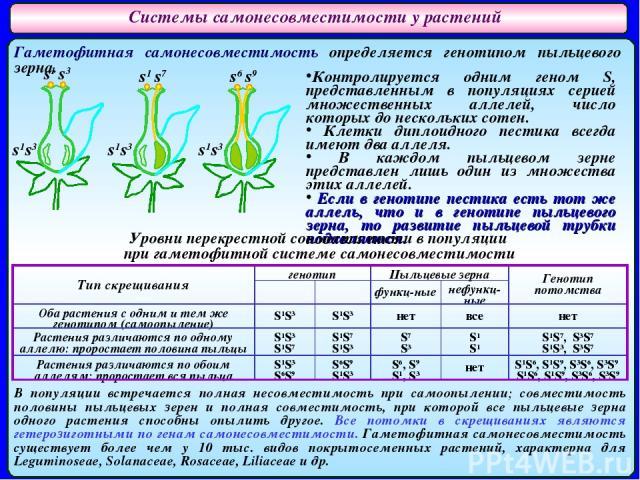 Системы самонесовместимости у растений Гаметофитная самонесовместимость определяется генотипом пыльцевого зерна. s1 s3 s1 s7 s6 s9 s1s3 s1s3 s1s3 Контролируется одним геном S, представленным в популяциях серией множественных аллелей, число которых д…