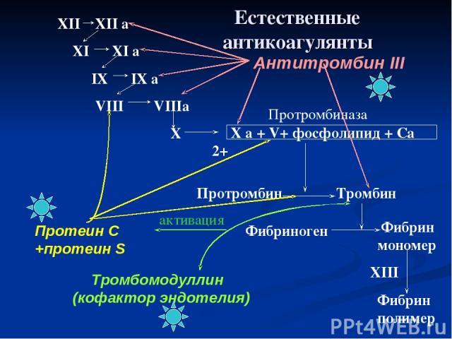 XII XII a XI XI a IX IX a VIII VIIIa X X a + V+ фосфолипид + Са 2+ Протромбиназа Протромбин Тромбин Фибриноген Фибрин мономер Фибрин полимер XIII Антитромбин III Тромбомодуллин (кофактор эндотелия) активация Протеин С +протеин S Естественные антикоа…