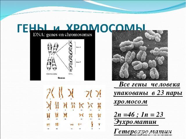 Все гены человека упакованы в 23 пары хромосом 2n =46 ; 1n = 23 Эухроматин Гетерохроматин