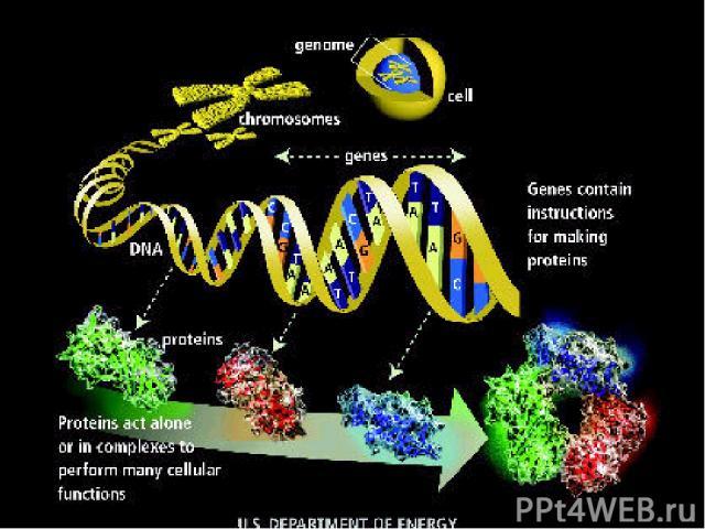 ЯДРО - ХРОМОСОМЫ - ДНК– ПЕПТИДЫ - БЕЛКИ