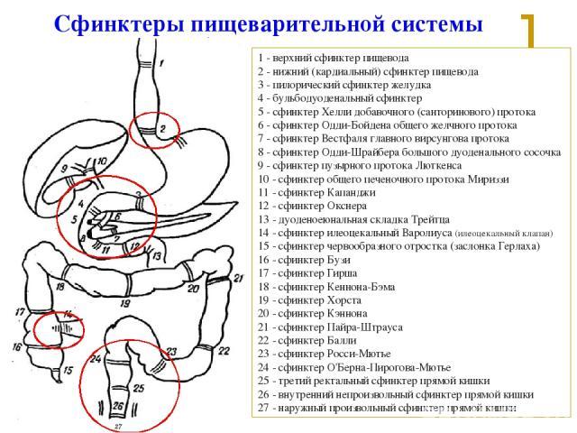 1 - верхний сфинктер пищевода 2 - нижний (кардиальный) сфинктер пищевода 3 - пилорический сфинктер желудка 4 - бульбодуоденальный сфинктер 5 - сфинктер Хелли добавочного (санторинового) протока 6 - сфинктер Одди-Бойдена общего желчного протока 7 - с…