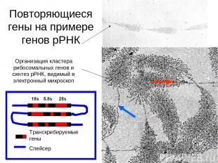 Организация кластера рибосомальных генов и синтез рРНК, видимый в электронный ми