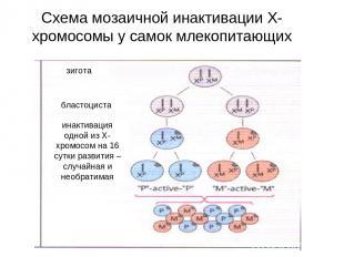 Схема мозаичной инактивации Х-хромосомы у самок млекопитающих зигота бластоциста
