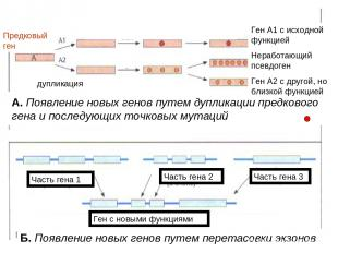 Б. Появление новых генов путем перетасовки экзонов А. Появление новых генов путе