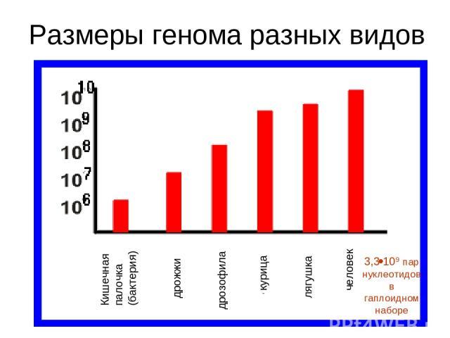 Размеры генома разных видов 3,3 109 пар нуклеотидов в гаплоидном наборе Кишечная палочка (бактерия) дрожжи дрозофила курица лягушка человек
