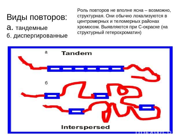 Виды повторов: а. тандемные б. диспергированные а б Роль повторов не вполне ясна – возможно, структурная. Они обычно локализуются в центромерных и теломерных районах хромосом. Выявляются при С-окраске (на структурный гетерохроматин)