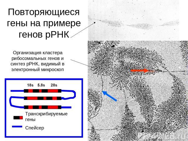 Организация кластера рибосомальных генов и синтез рРНК, видимый в электронный микроскоп Транскрибируемые гены Спейсер Повторяющиеся гены на примере генов рРНК