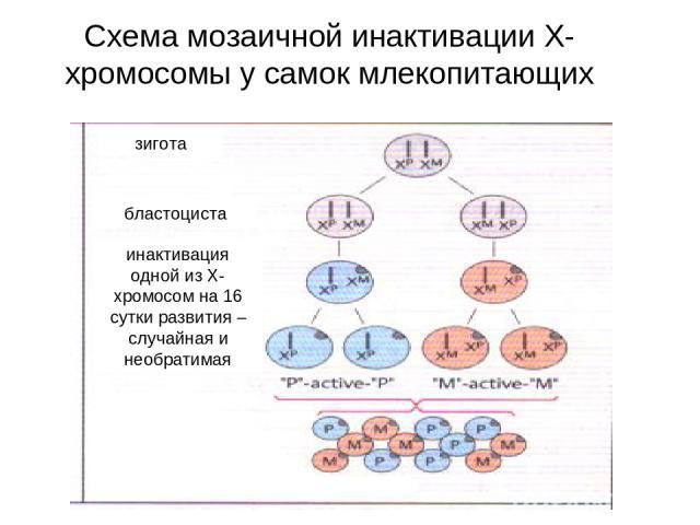 Схема мозаичной инактивации Х-хромосомы у самок млекопитающих зигота бластоциста инактивация одной из Х-хромосом на 16 сутки развития –случайная и необратимая