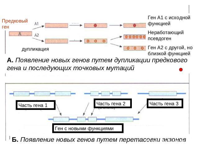 Б. Появление новых генов путем перетасовки экзонов А. Появление новых генов путем дупликации предкового гена и последующих точковых мутаций Предковый ген Ген с новыми функциями Часть гена 1 Часть гена 2 Часть гена 3 Ген с новыми функциями дупликация…