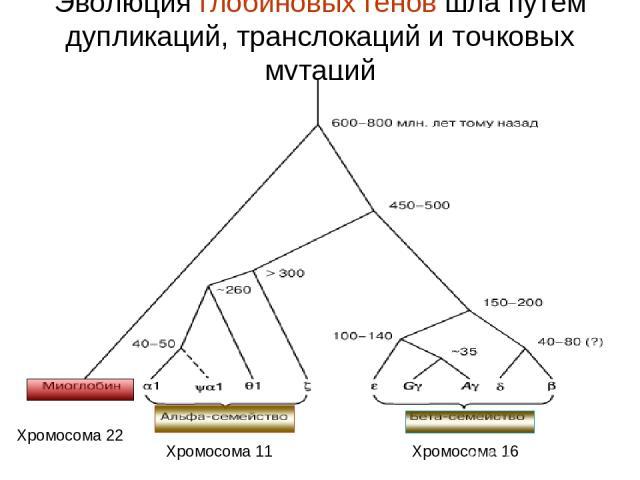 Эволюция глобиновых генов шла путем дупликаций, транслокаций и точковых мутаций Хромосома 22 Хромосома 11 Хромосома 16