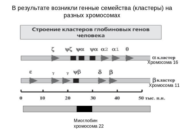 Хромосома 16 Хромосома 11 Миоглобин хромосома 22 В результате возникли генные семейства (кластеры) на разных хромосомах