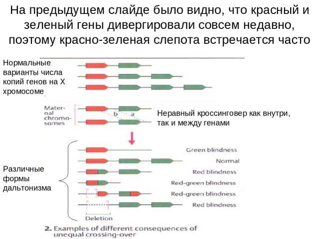 На предыдущем слайде было видно, что красный и зеленый гены дивергировали совсем недавно, поэтому красно-зеленая слепота встречается часто Нормальные варианты числа копий генов на Х хромосоме Неравный кроссинговер как внутри, так и между генами Разл…
