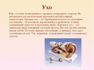 Ухо Ухо - состоит из внутреннего, среднего и наружного отделов. Во внутреннем ух