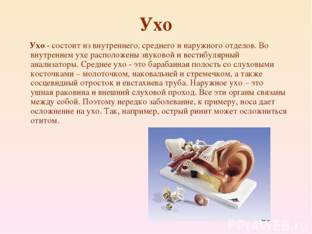 Ухо Ухо - состоит из внутреннего, среднего и наружного отделов. Во внутреннем ухе расположены звуковой и вестибулярный анализаторы. Среднее ухо - это барабанная полость со слуховыми косточками – молоточком, наковальней и стремечком, а также сосцевид…