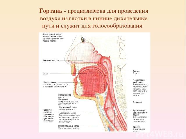 Гортань - предназначена для проведения воздуха из глотки в нижние дыхательные пути и служит для голосообразования.