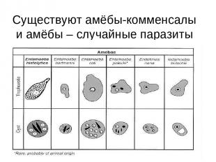 Существуют амёбы-комменсалы и амёбы – случайные паразиты