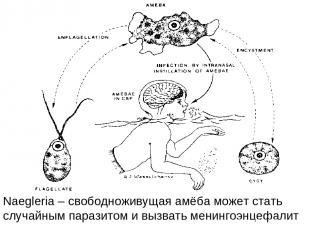 Naegleria – свободноживущая амёба может стать случайным паразитом и вызвать мени