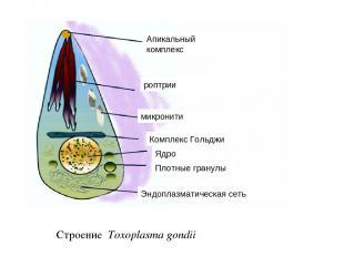 Строение Toxoplasma gondii Апикальный комплекс роптрии Комплекс Гольджи Ядро Энд