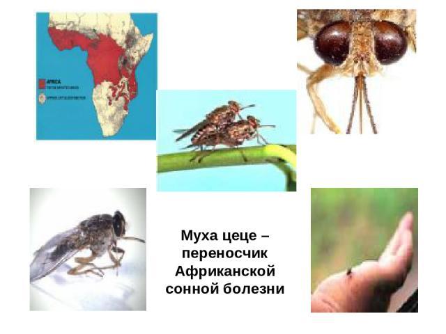 Муха цеце – переносчик Африканской сонной болезни