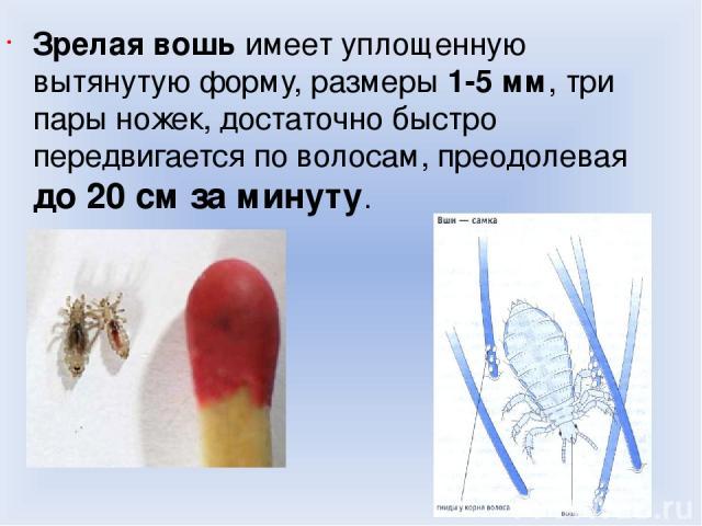 Зрелая вошь имеет уплощенную вытянутую форму, размеры 1-5 мм, три пары ножек, достаточно быстро передвигается по волосам, преодолевая до 20 см за минуту.