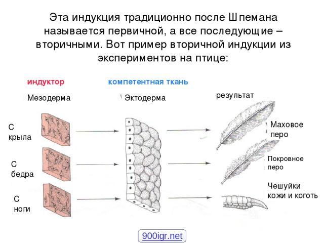 Эта индукция традиционно после Шпемана называется первичной, а все последующие – вторичными. Вот пример вторичной индукции из экспериментов на птице: Мезодерма Эктодерма индуктор компетентная ткань результат Чешуйки кожи и коготь Маховое перо Покров…