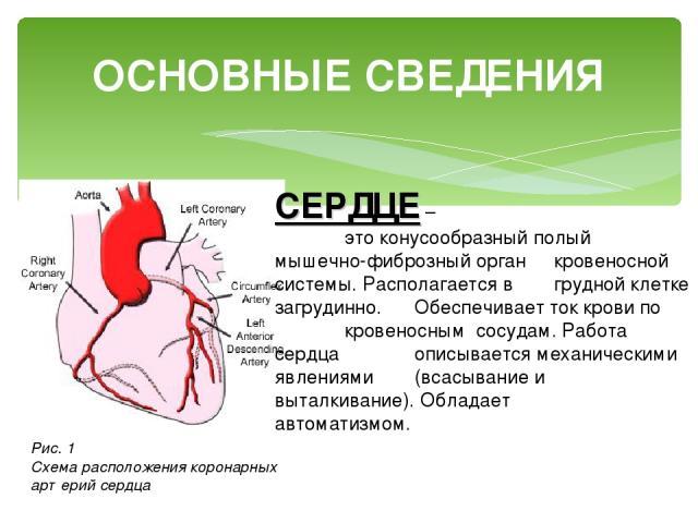 ОСНОВНЫЕ СВЕДЕНИЯ СЕРДЦЕ – это конусообразный полый мышечно-фиброзный орган кровеносной системы. Располагается в грудной клетке загрудинно. Обеспечивает ток крови по кровеносным сосудам. Работа сердца описывается механическими явлениями (всасывание …