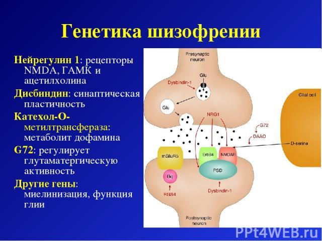 Генетика шизофрении Нейрегулин 1: рецепторы NMDA, ГАМК и ацетилхолина Дисбиндин: синаптическая пластичность Катехол-O-метилтрансфераза: метаболит дофамина G72: регулирует глутаматергическую активность Другие гены: миелинизация, функция глии