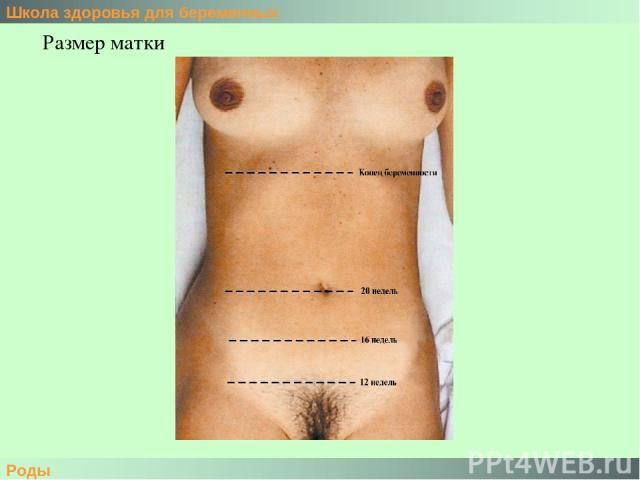 Школа здоровья для беременных Роды Размер матки