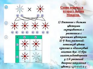 Схема первого и второго закона Менделя. Растение с белыми цветками скрещивается