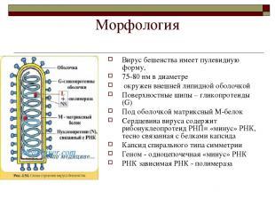Морфология Вирус бешенства имеет пулевидную форму, 75-80 нм в диаметре окружен в