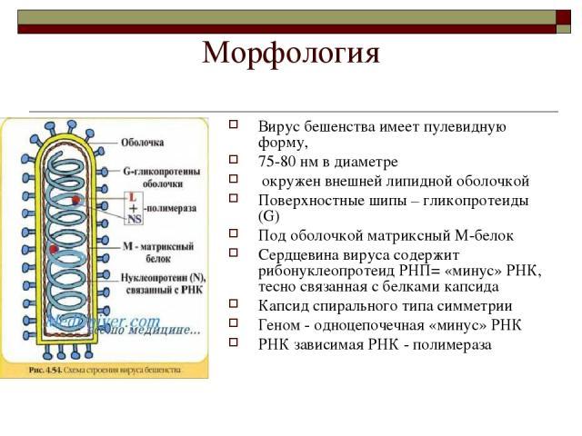 Морфология Вирус бешенства имеет пулевидную форму, 75-80 нм в диаметре окружен внешней липидной оболочкой Поверхностные шипы – гликопротеиды (G) Под оболочкой матриксный М-белок Сердцевина вируса содержит рибонуклеопротеид РНП= «минус» РНК, тесно св…