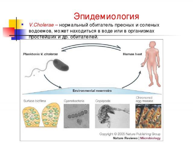 Эпидемиология V.Cholerae – нормальный обитатель пресных и соленых водоемов, может находиться в воде или в организмах простейших и др. обитателей.