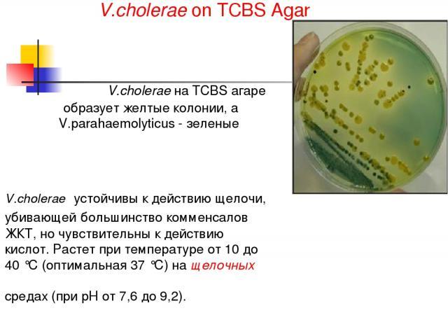 V.cholerae устойчивы к действию щелочи, убивающей большинство комменсалов ЖКТ, но чувствительны к действию кислот. Растет при температуре от 10 до 40 °С (оптимальная 37 °С) на щелочных средах (при рН от 7,6 до 9,2). V.cholerae on TCBS Agar V.cholera…