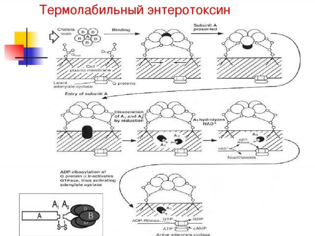 Термолабильный энтеротоксин