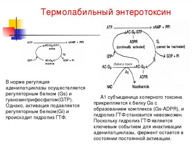 Термолабильный энтеротоксин В норме регуляция аденилатциклазы осуществляется регуляторным белком (Gs) и гуанозинтрифосфатом(GTP). Однако, активация подавляется регуляторным белком(Gi) и происходит гидролиз ГТФ. А1 субъединица холерного токсина прикр…