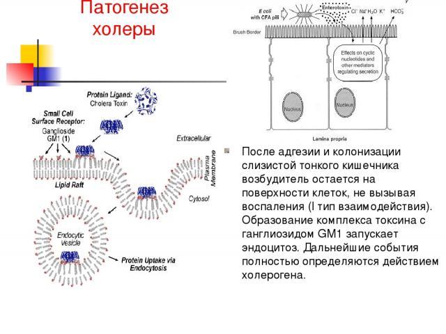 Патогенез холеры После адгезии и колонизации слизистой тонкого кишечника возбудитель остается на поверхности клеток, не вызывая воспаления (I тип взаимодействия). Образование комплекса токсина с ганглиозидом GM1 запускает эндоцитоз. Дальнейшие событ…