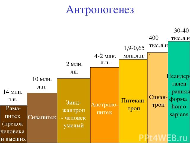 Антропогенез Рама- питек (предок человека и высших обезьян) Сивапитек Зинд- жантроп - человек умелый Австрало- питек Питекан- троп Синан- троп Неандер- талец - ранняя форма homo sapiens 14 млн. л.н. 10 млн. л.н. 2 млн. лн. 4-2 млн. л.н. 1,9-0,65 млн…