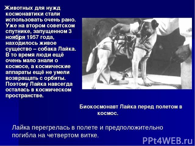 Биокосмонавт Лайка перед полетом в космос. Животных для нужд космонавтики стали использовать очень рано. Уже на втором советском спутнике, запущенном 3 ноября 1957 года, находилось живое существо – собака Лайка. В то время люди ещё очень мало знали …