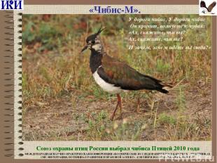 «Чибис-М». Союз охраны птиц России выбрал чибиса Птицей 2010 года У дороги чибис