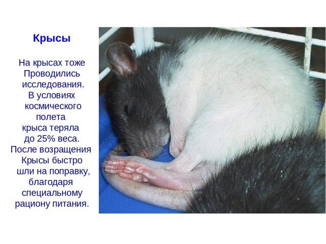Крысы На крысах тоже Проводились исследования. В условиях космического полета крыса теряла до 25% веса. После возращения Крысы быстро шли на поправку, благодаря специальному рациону питания.