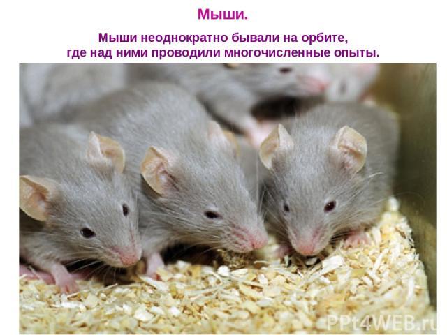 Мыши. Мыши неоднократно бывали на орбите, где над ними проводили многочисленные опыты.