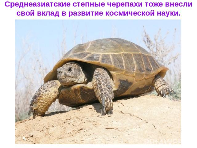 Среднеазиатские степные черепахи тоже внесли свой вклад в развитие космической науки.