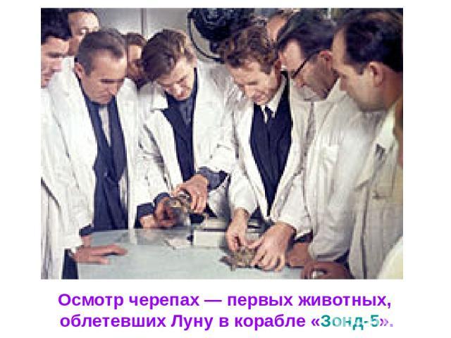 Осмотр черепах— первых животных, облетевших Луну в корабле «Зонд-5».