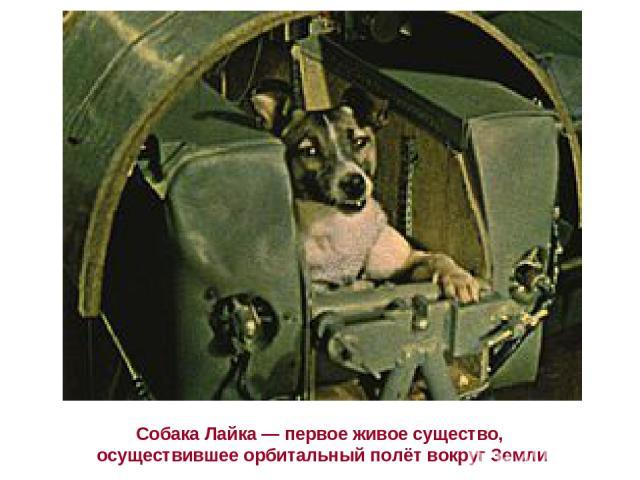 Собака Лайка— первое живое существо, осуществившее орбитальный полёт вокруг Земли