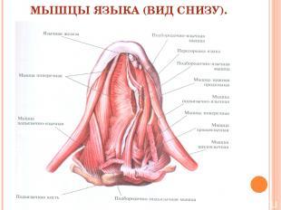 МЫШЦЫ ЯЗЫКА (ВИД СНИЗУ).
