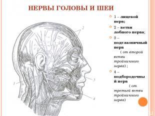 НЕРВЫ ГОЛОВЫ И ШЕИ 1 – лицевой нерв; 2 – ветви лобного нерва; 3 – подглазничный
