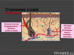 Строение кожи Сальная железа (поддерживает уровень влаги в коже) Потовая железа