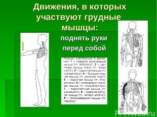 Движения, в которых участвуют грудные мышцы: поднять руки перед собой